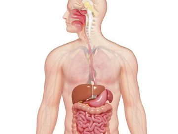 Macam Organ Pencernaan Manusia 8