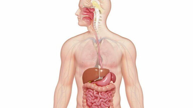 Macam Organ Pencernaan Manusia 1