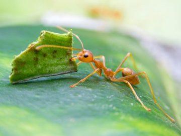 siklus hidup semut