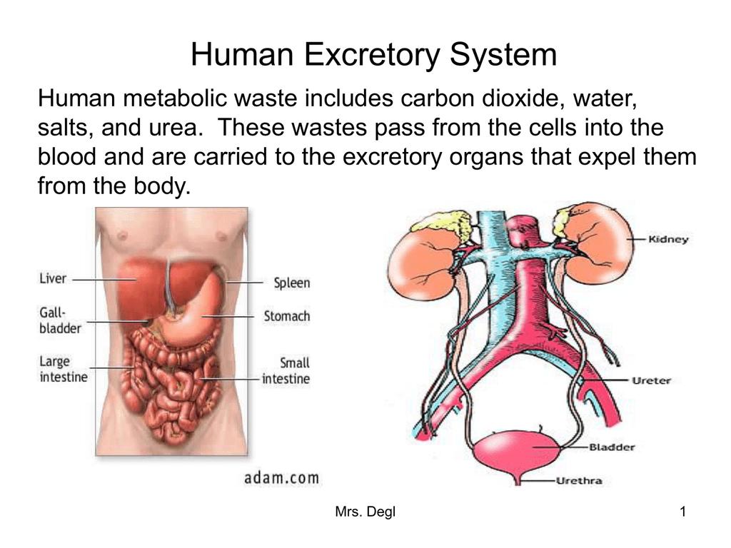 5 Jenis Organ Tubuh ManusiaYang Harus Diketahui 5