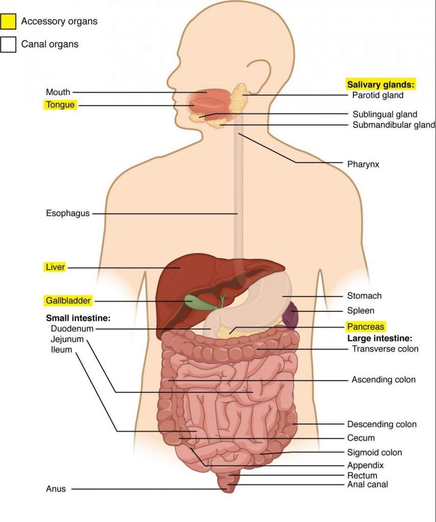 5 Jenis Organ Tubuh ManusiaYang Harus Diketahui 3