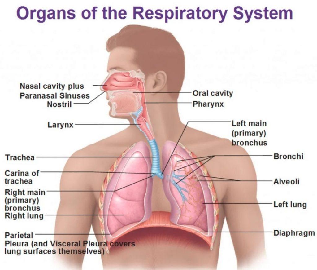 5 Jenis Organ Tubuh ManusiaYang Harus Diketahui 2