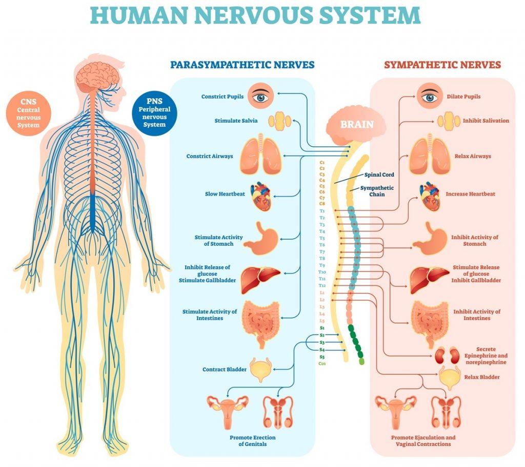 5 Jenis Organ Tubuh ManusiaYang Harus Diketahui 1