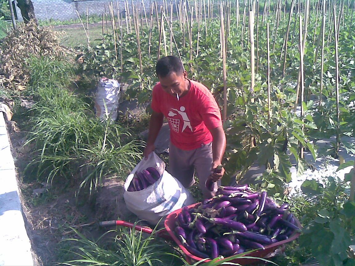 Petani Indonesia sedang Panen