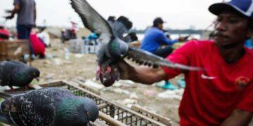 Mengenal Balap Burung Merpati, Pelestarian Budaya yang Berhadiah Miliaran Rupiah 7