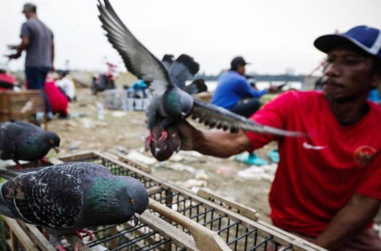 Mengenal Balap Burung Merpati, Pelestarian Budaya yang Berhadiah Miliaran Rupiah 1