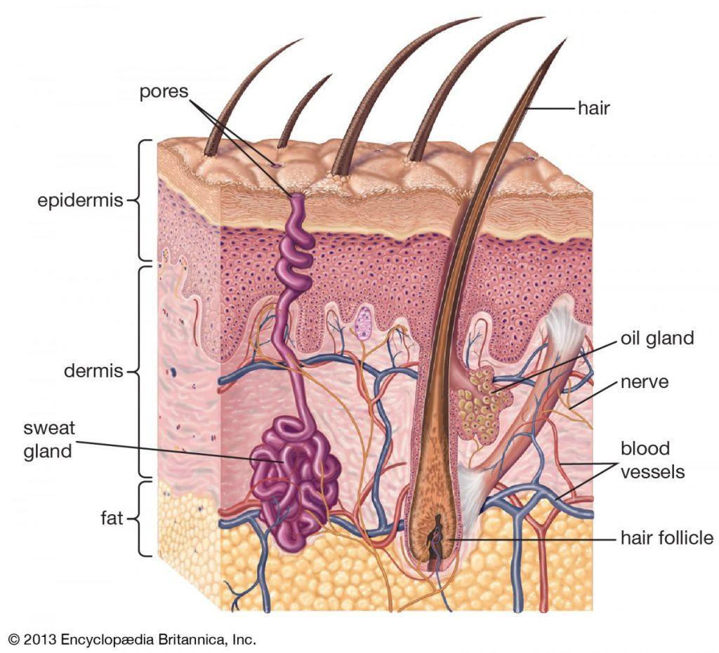Organ Penting Dalam Sistem Ekskresi Pada Manusia 2