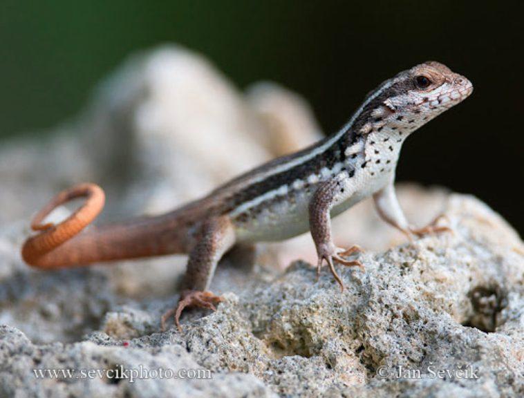 19 Spesies Reptile Yang Ternyata Sudah Punah 17