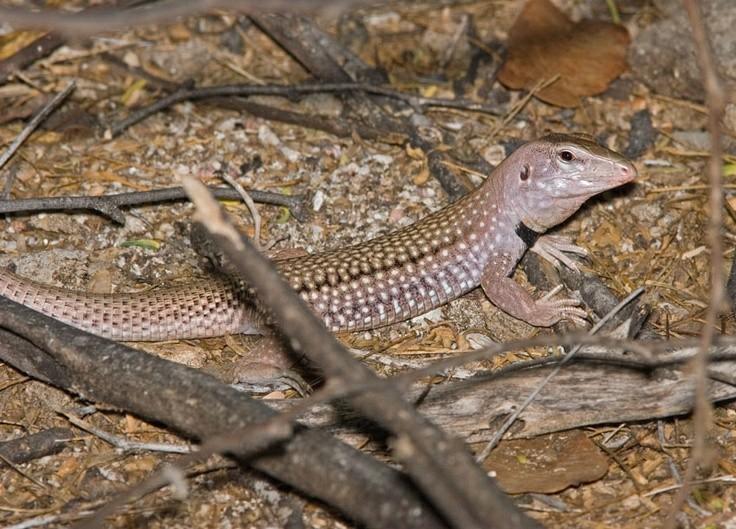 19 Spesies Reptile Yang Ternyata Sudah Punah 7