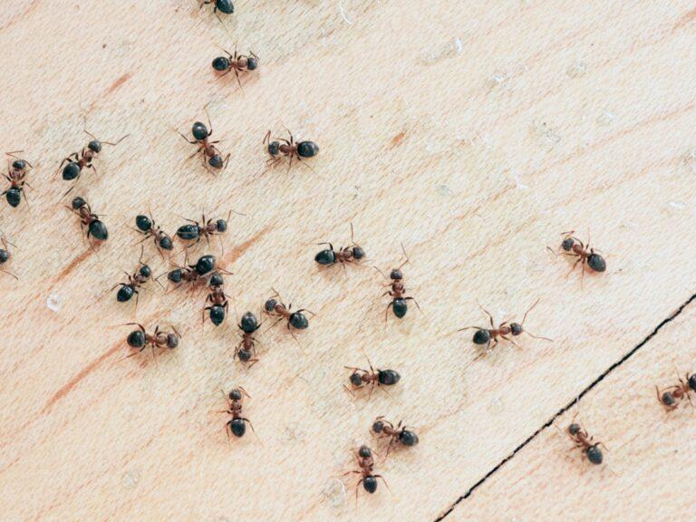 Bagaiman Semut Bisa Menemukan Jalan Pulang? 1