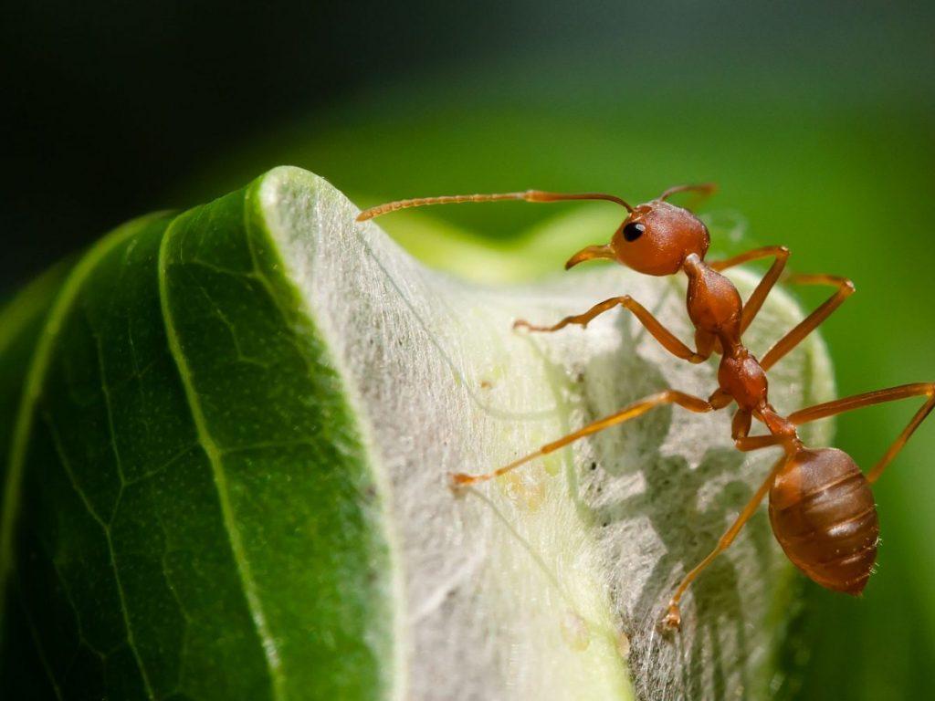 Bagaiman Semut Bisa Menemukan Jalan Pulang? 3