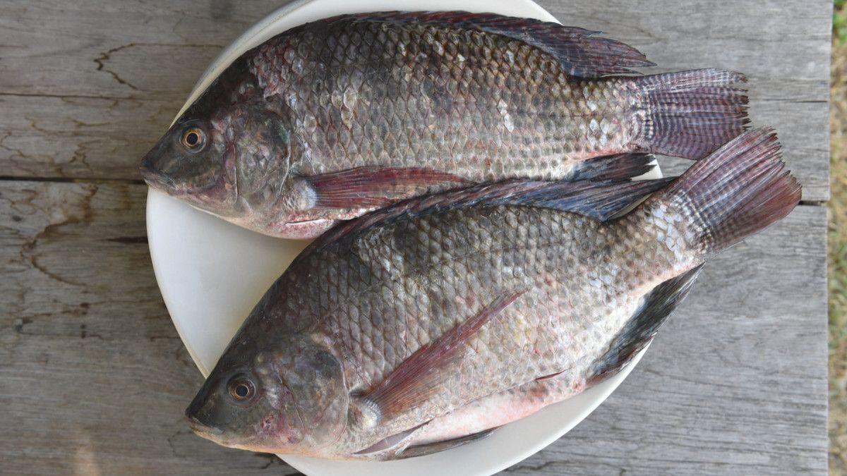 15 Jenis Ikan Air Tawar Yang Bisa Jadi Referensi Untuk Memulai Bisnis Budidaya 16