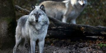 Serigala Yellowstone dan Konservasi Spesies Kunci 18