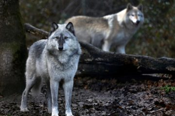 Serigala Yellowstone dan Konservasi Spesies Kunci 3
