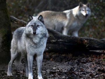 Serigala Yellowstone dan Konservasi Spesies Kunci 9