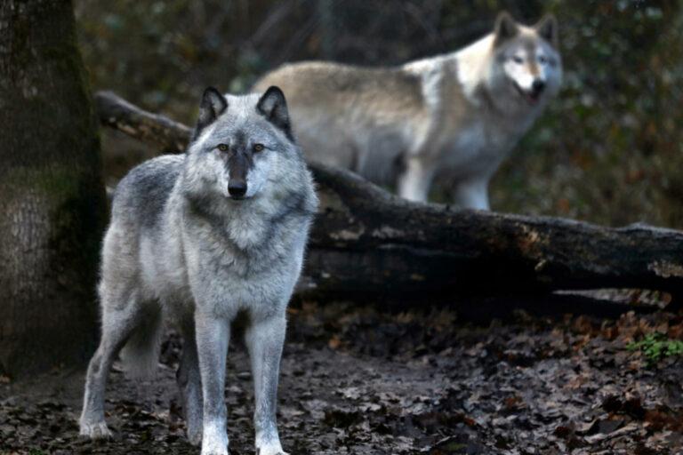 Serigala Yellowstone dan Konservasi Spesies Kunci 1