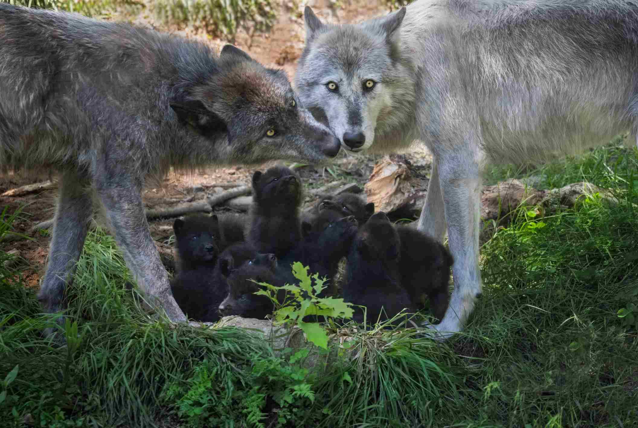 pasangan serigala abu-abu dan keturunannya