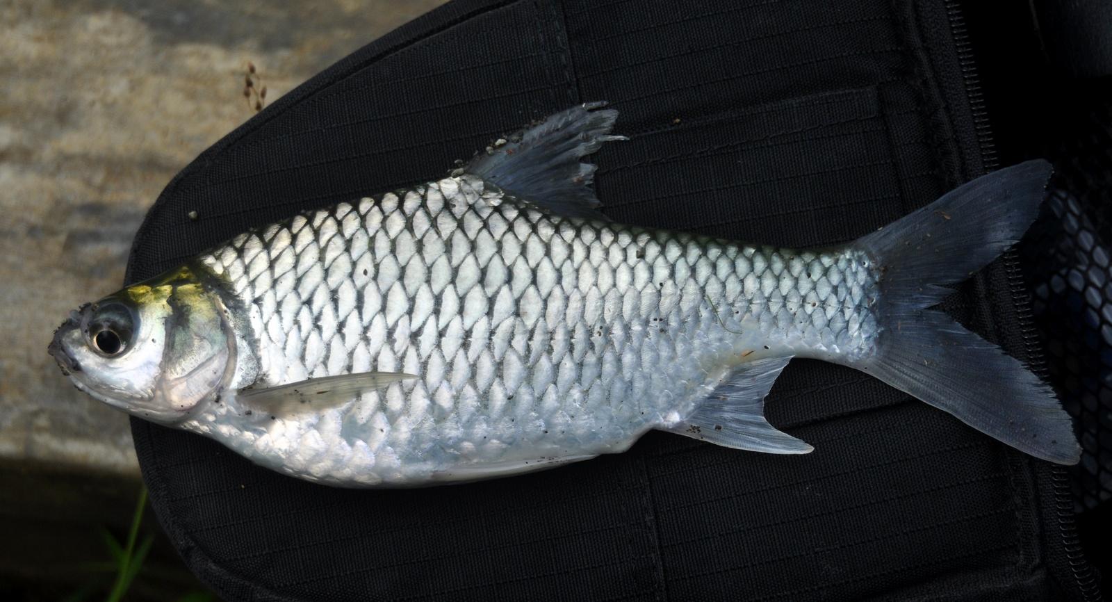 15 Jenis Ikan Air Tawar Yang Bisa Jadi Referensi Untuk Memulai Bisnis Budidaya 7