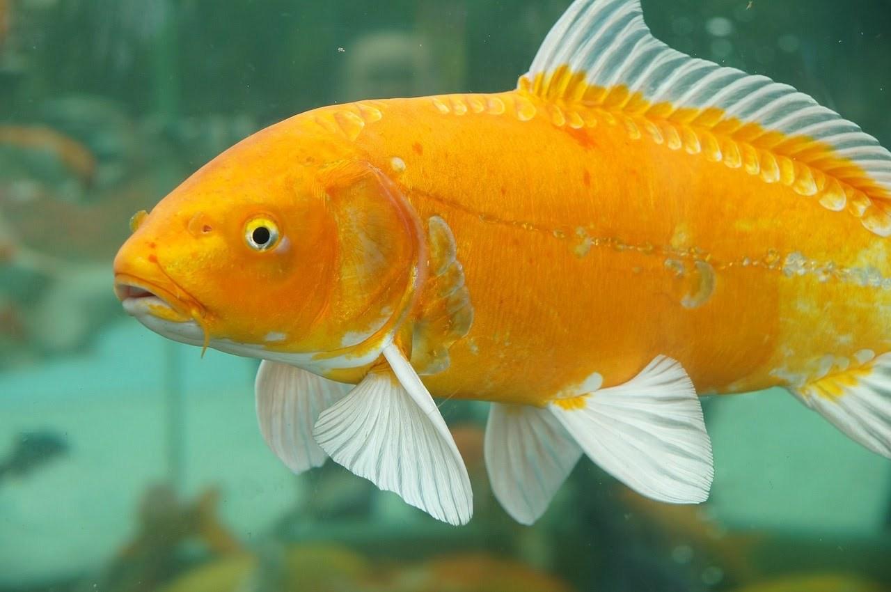 15 Jenis Ikan Air Tawar Yang Bisa Jadi Referensi Untuk Memulai Bisnis Budidaya 6