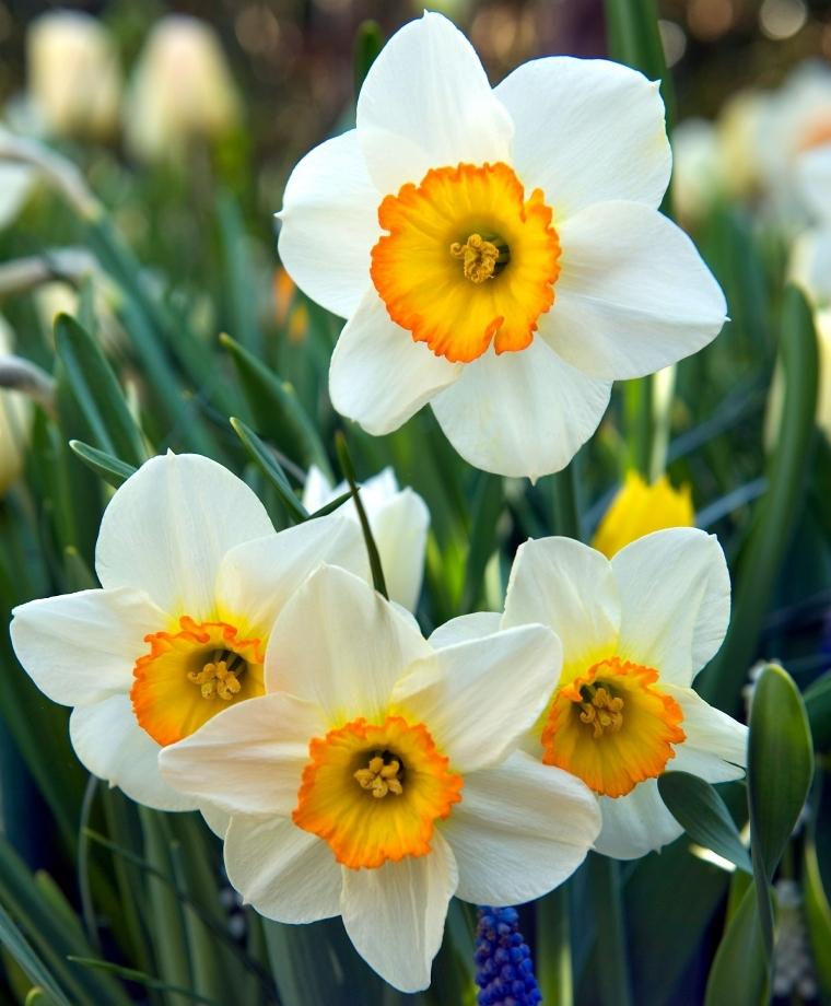 Bunga Daffodil atau Bunga Narsis