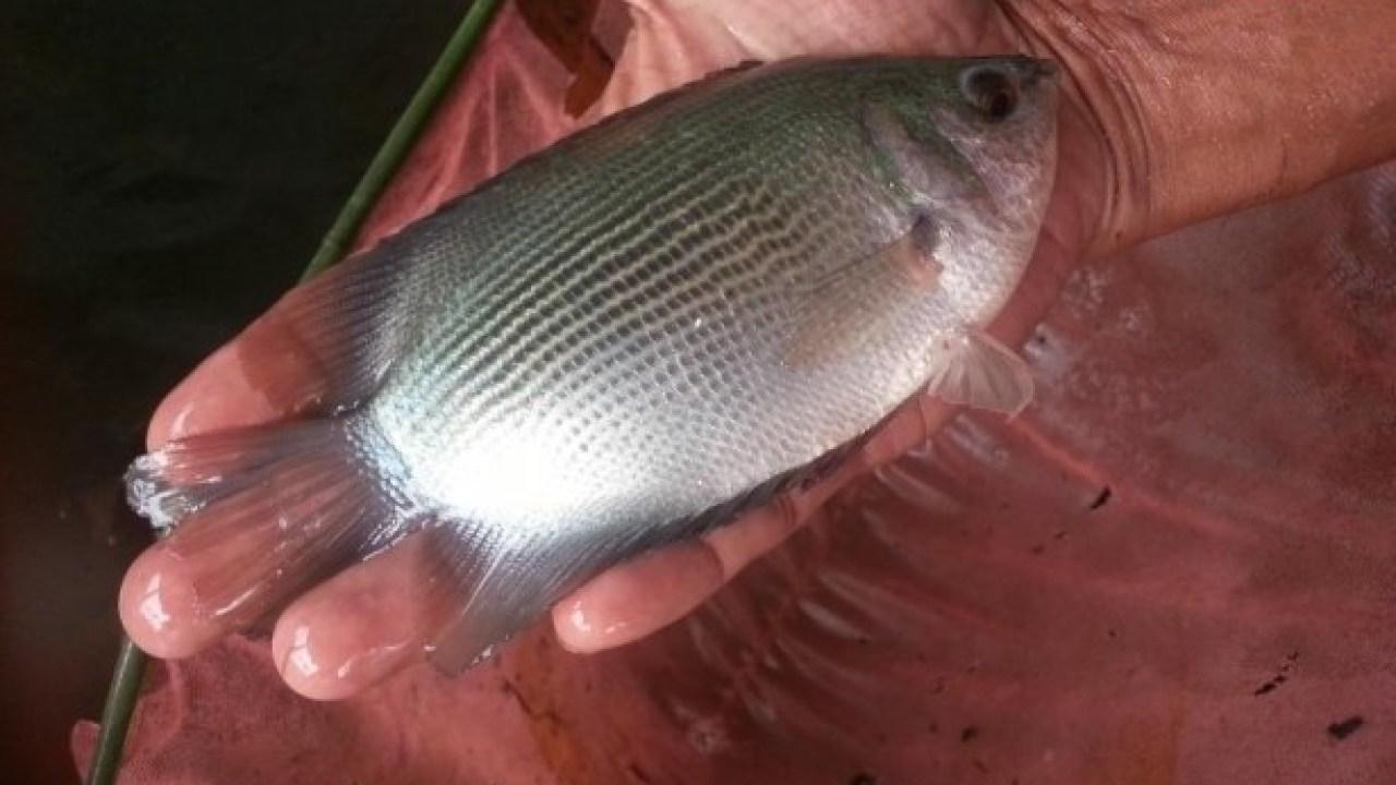 15 Jenis Ikan Air Tawar Yang Bisa Jadi Referensi Untuk Memulai Bisnis Budidaya 12