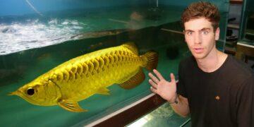 10 Jenis Ikan Arwana Yang Cocok Untuk Memperindah Tampilan Ruang Tamu di Rumah 16