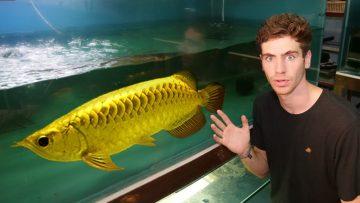 10 Jenis Ikan Arwana Yang Cocok Untuk Memperindah Tampilan Ruang Tamu di Rumah 2