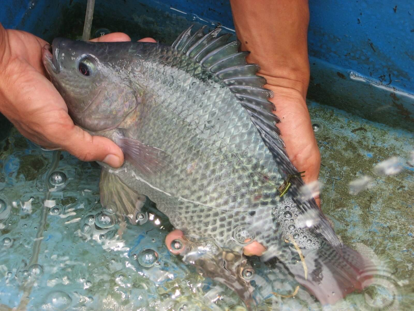 15 Jenis Ikan Air Tawar Yang Bisa Jadi Referensi Untuk Memulai Bisnis Budidaya 4