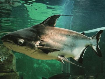 15 Jenis Ikan Air Tawar Yang Bisa Jadi Referensi Untuk Memulai Bisnis Budidaya 8
