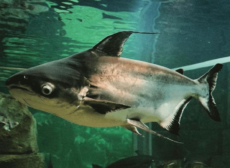 15 Jenis Ikan Air Tawar Yang Bisa Jadi Referensi Untuk Memulai Bisnis Budidaya 1