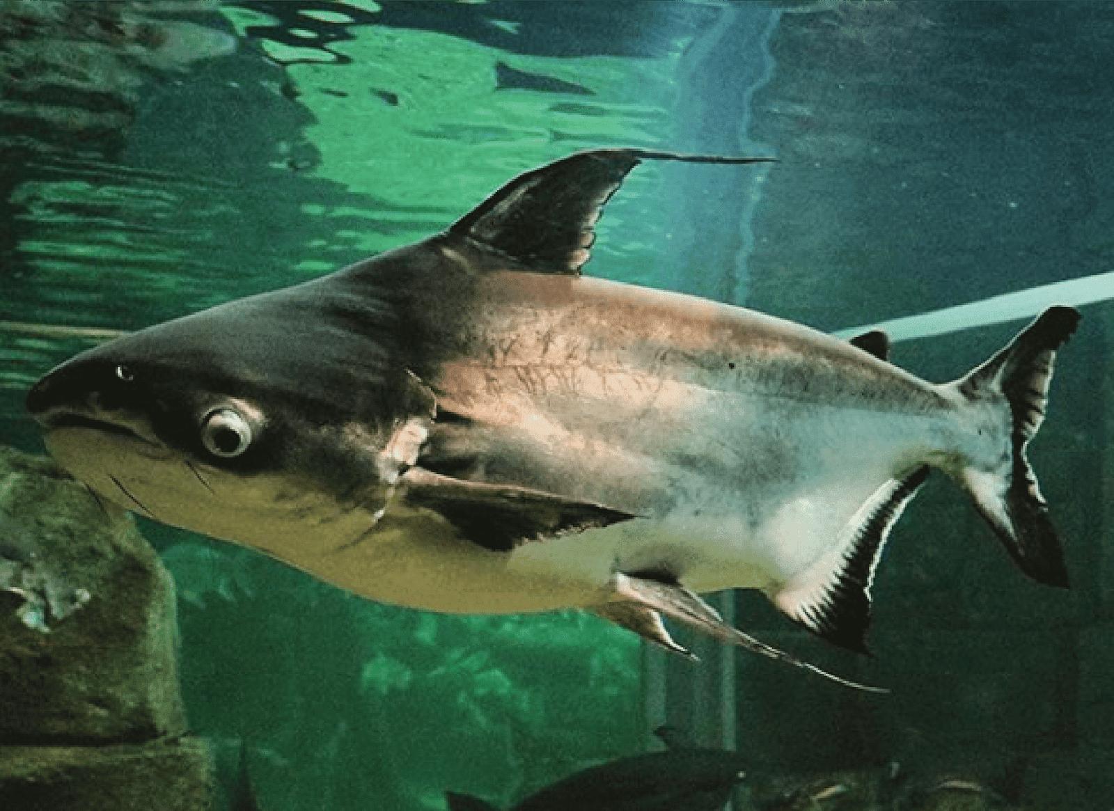 15 Jenis Ikan Air Tawar Yang Bisa Jadi Referensi Untuk Memulai Bisnis Budidaya 13