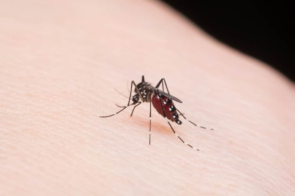 6 Fakta tentang Nyamuk, 'Si Vampire' yang Sesungguhnya 4