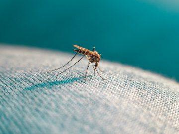 6 Fakta tentang Nyamuk, 'Si Vampire' yang Sesungguhnya 3