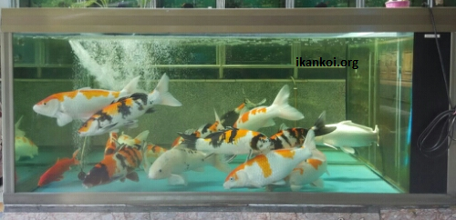4 Hal Yang Perlu Diperhatikan Jika Kalian Memelihara Ikan Koi di Akuarium 6