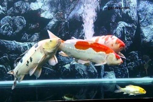 4 Hal Yang Perlu Diperhatikan Jika Kalian Memelihara Ikan Koi di Akuarium 5
