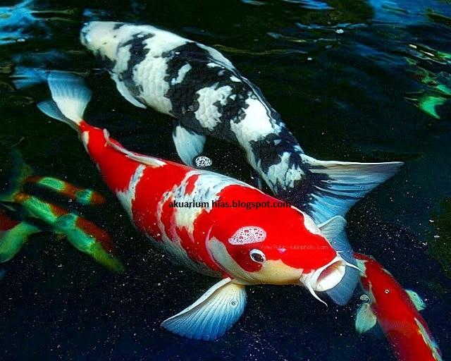 4 Hal Yang Perlu Diperhatikan Jika Kalian Memelihara Ikan Koi di Akuarium 3