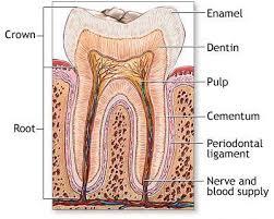Jaringan normal periodontal. Sumber Google repository.unair.co.id