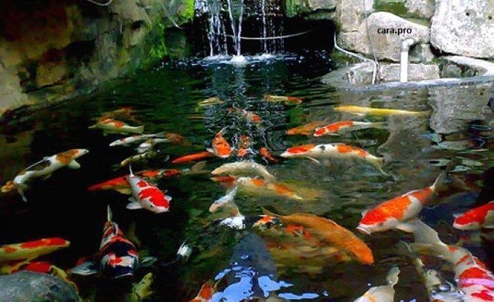 4 Hal Yang Perlu Diperhatikan Jika Kalian Memelihara Ikan Koi di Akuarium 4