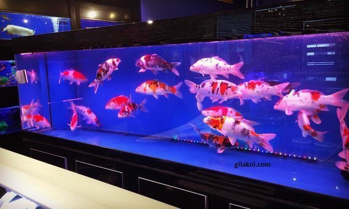 4 Hal Yang Perlu Diperhatikan Jika Kalian Memelihara Ikan Koi di Akuarium 1
