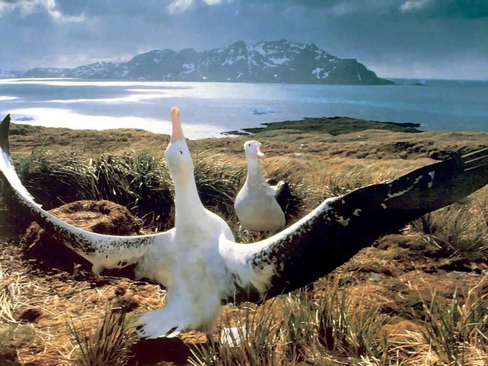 Burung Albatros