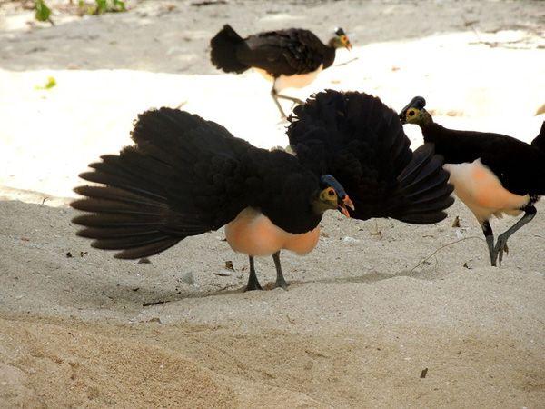 Burung maleo berjalan diatas tanah