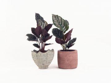 Jenis-jenis tanaman hias Calathea yang cantik tapi murah 6