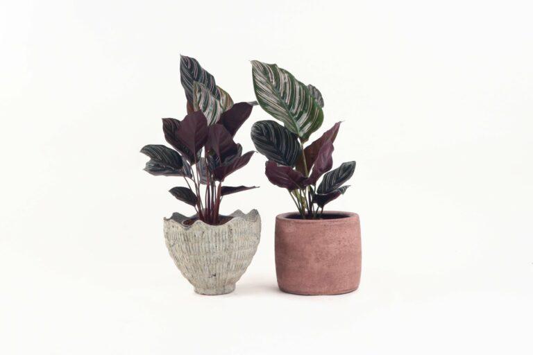 Jenis-jenis tanaman hias Calathea yang cantik tapi murah 1
