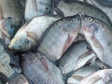3 Jenis Ikan Nila Paling diminati di Indonesia 11