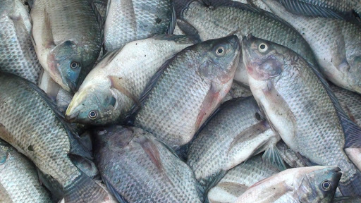 3 Jenis Ikan Nila Paling diminati di Indonesia 1