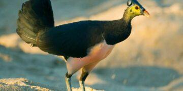 6 Fakta Unik Burung Maleo 19