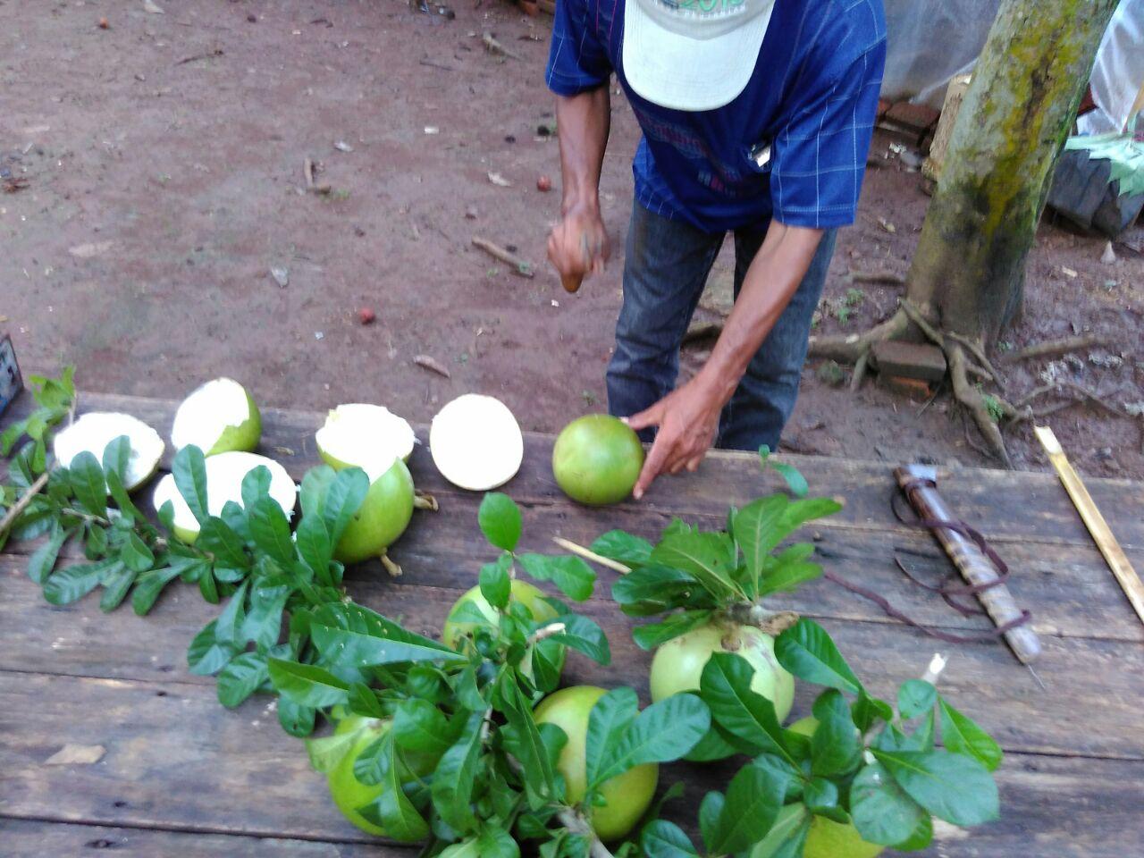 Membuat Pestisida Alami Menggunakan Buah Maja
