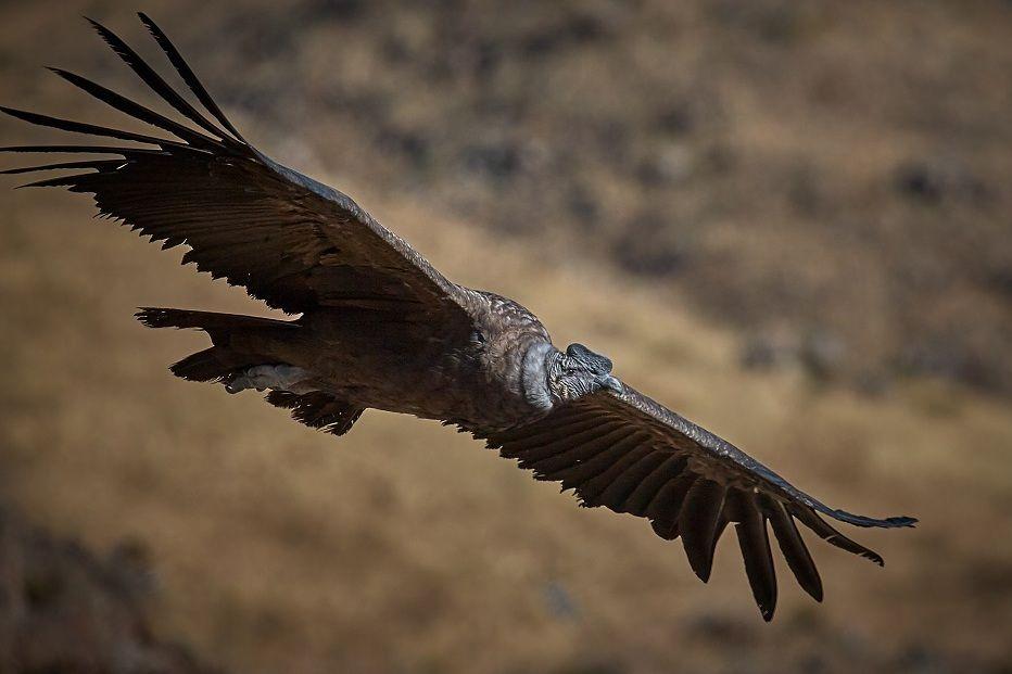 Burung Kondor Andes