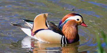 4 Hal tentang Mandarin Duck, Bebek Cantik Yang Pernah Ada 17