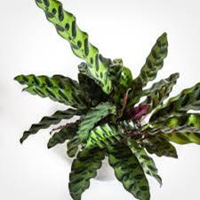 Jenis-jenis tanaman hias Calathea yang cantik tapi murah 3